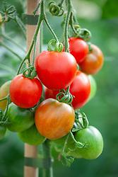 Tomato 'Stupicke Polni Rane' syn. Tomato 'Stupice'