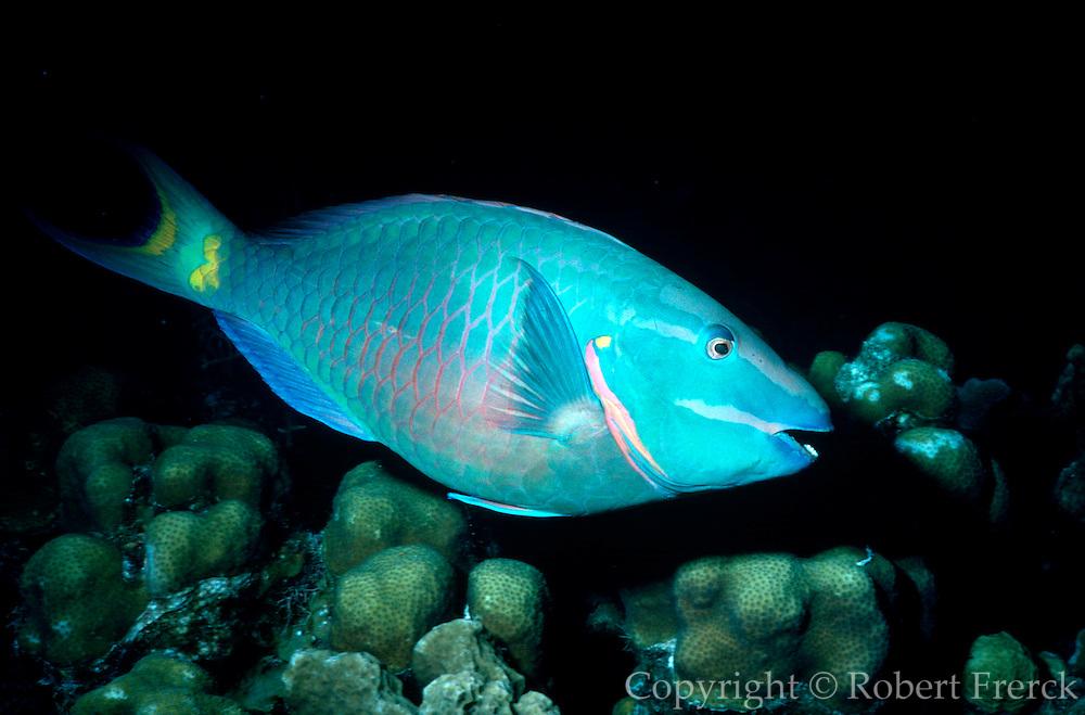 UNDERWATER MARINE LIFE CARIBBEAN, generic FISH; Parrotfish