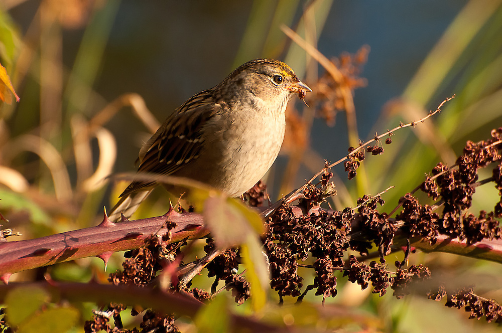 A golden-crowned sparrow catches the last golden rays of sunlight on a chilly autumn afternoon in Medina, Washington.