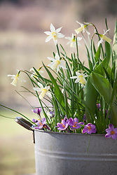 Bulb lasagne in a zinc planter. Narcissus 'Elka', Crocus 'Spring Beauty' and tulip foliage