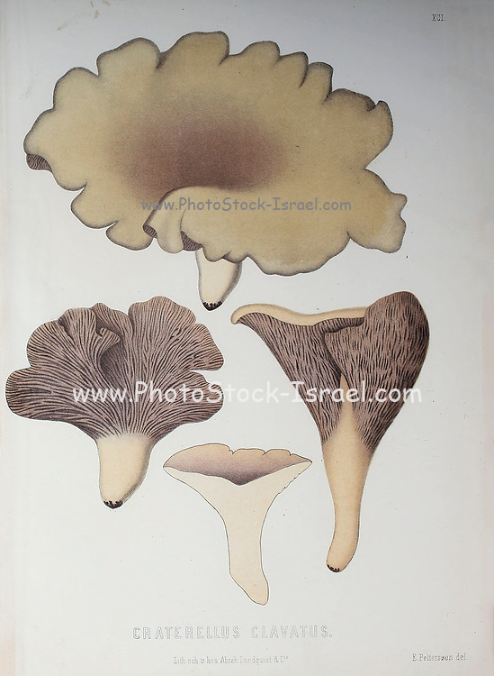 Gomphus clavatus [Here as Craterellus clavatus], commonly known as pig's ears or the violet chanterelle, is an edible species of fungus in the genus Gomphus native to Eurasia and North America. The fruit body is vase- or fan-shaped with wavy edges to its rim. from the book Sveriges ätliga och giftiga svampar tecknade efter naturen under ledning [Sweden's edible and poisonous mushrooms drawn after nature under guidance] By Fries, Elias, 1794-1878; Kungl. Svenska vetenskapsakademien Published in Stockholm, Sweden in 1861