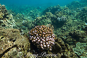 partially bleached colony of cauliflower coral, Pocillopora meandrina, during a marine heat wave in 2019, Kahekili Park, West Maui, Hawaii, USA ( Central Pacific Ocean ); the bleached portions are fluorescing violet - this is believed to be a protective response that reduces cell damage from sunlight; on the surrounding reef are some colonies that are fully bleached and white, as well as dead coral overgrown with algae
