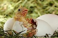 """Chicken, Gallus gallus domesticus, chick hatches out of a broken egg. The visible feathering is still wet. The chick inside the egg picks the shell in a circle around the egg, until the top flies off. A hen lays 250-300 eggs in a year, if the eggs taking away. Hens, which hatching chicks, laying considerably less. breeding time takes 21 days. Chicken are precocial animals. This picture is part of the series """"Escape into life""""..Haushuhn, Gallus gallus domesticus, Küken schlüpft aus dem auseinander gebrochenen Ei. Das Gefieder ist noch feucht. In einem Kreis, rund um das Ei wird die Schale von dem Küken von innen aufgehackt, bis der Deckel abspringt. Eine Henne legt im Jahr 250-300 Eier, wenn sie ihr weggenommen werden. Hennen, die ihre Küken ausbrüten können, legen erheblich weniger. Die Brutdauer beträgt 21 Tage. Hühner sind Nestflüchter. Diese Bild ist Teil der Serie ,,Ausbruch ins Leben""""."""