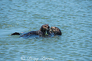 female California sea otter or southern sea otter, Enhydra lutris nereis ( threatened species ) grooms her pup; Elkhorn Slough, Moss Landing, California, United States ( Eastern Pacific )