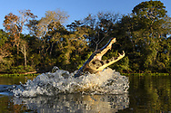 A yacare caiman (Caiman yacare) is jumping out of a river, Pantanal, Mato Grosso, Brazil