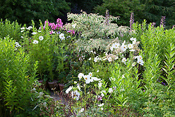 Cosmos bipinnatus 'Purity' and phlox foliage in Alice's garden at Glebe Cottage