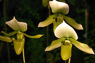Low-light and a dark background makes a trio of white and green paphiopedilum orchid flowers appear spooky and surreal