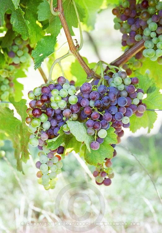 colouring of the grapes, veraison, in summer chateau de castelnau entre deux mers bordeaux france