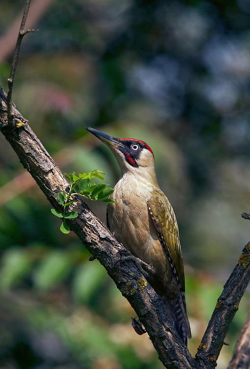 Green Woodpecker (Picus canus) Pusztaszer Nature Reserve, Hungary