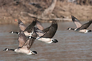 Flock of Canada Geese flying along the Chemung River in Elmira, NY