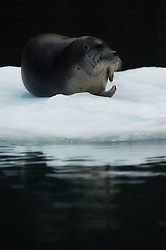 Bearded seal (Erignathus barbatus) in Svalbard