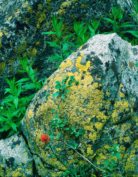 Indian paintbrush, boulder with lichens, Desolation Wilderness, Sierra Mountains, California, USA