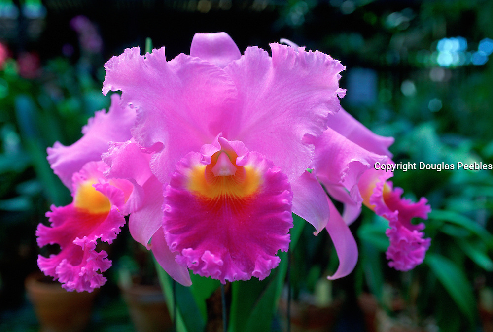 Orchid, Hawaii<br />