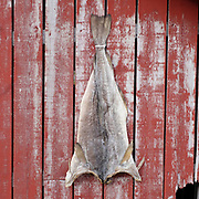 A dried salted cod klippfisk on a red-painted Rorbu fisherman's cabin on 24th August 2016 in the village of A, Lofoten, Norway. The Lofoten islands are famous for their jagged mountains, red-painted rorbu cabins and racks with fish hanging closely packed to dry.