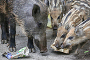 A wild boar sow and her piglets pick in the trash in Haifa, Israel, April 09, 2021. Several neighborhoods in the northern Israeli city are being visited by families of wild boars. Many of the animals felt safer to come out of the Carmel woods surrounding the city in search for food, as most people were confined to their homes due to covid-19 lockdowns. As Israel slowly returned to normal life, following a large scale vaccination operation, human and animal encounters became more and more common.