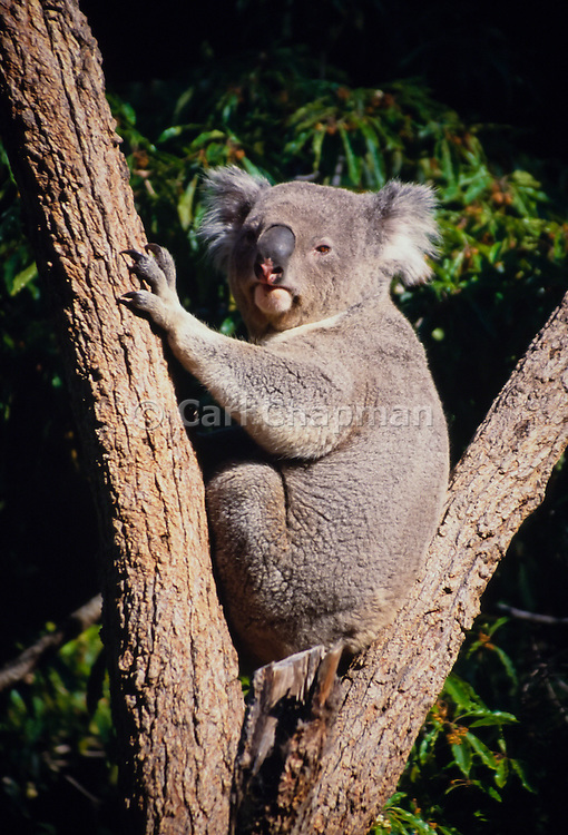Koala bear in a tree (captive) <br /> <br /> Editions:- Open Edition Print / Stock Image