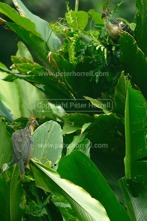 Ecuador, May 7 2010: A pair of Hoatzins perch on vegetation. Copyright 2010 Peter Horrell