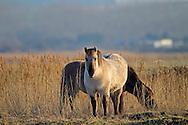 Konik Pony, Norfolk UK