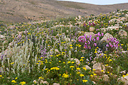 After a rare rainy season in the Negev Desert, Israel, an abundance of wildflowers sprout out and bloom. Photographed at the Lotz Cisterns in The Negev Desert Israel in March