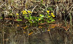 THEMENBILD - gelbe Sumpfdotterblumen (Caltha palustris) spiegeln sich in einem Gewässer, aufgenommen am 10. April 2018, Ort, Österreich // yellow marsh marigolds (Caltha palustris) are reflected in a pond on 2018/04/10, Ort, Austria. EXPA Pictures © 2018, PhotoCredit: EXPA/ Stefanie Oberhauser