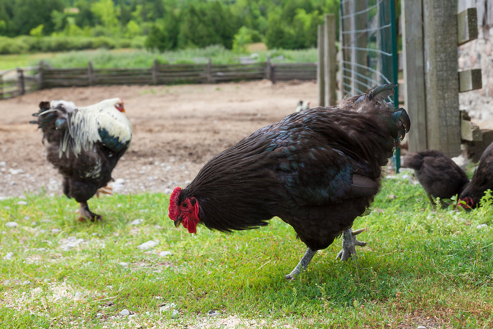 Heritage breed Black Jersey Giant and black and white Light Brahma hens scratch in the barnyard.