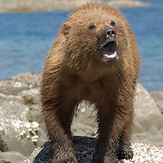 Alaskan Brown Bear, (Ursus middendorffi)  Close up of bear opening clam in mouth. Katmai National Park. Alaska.