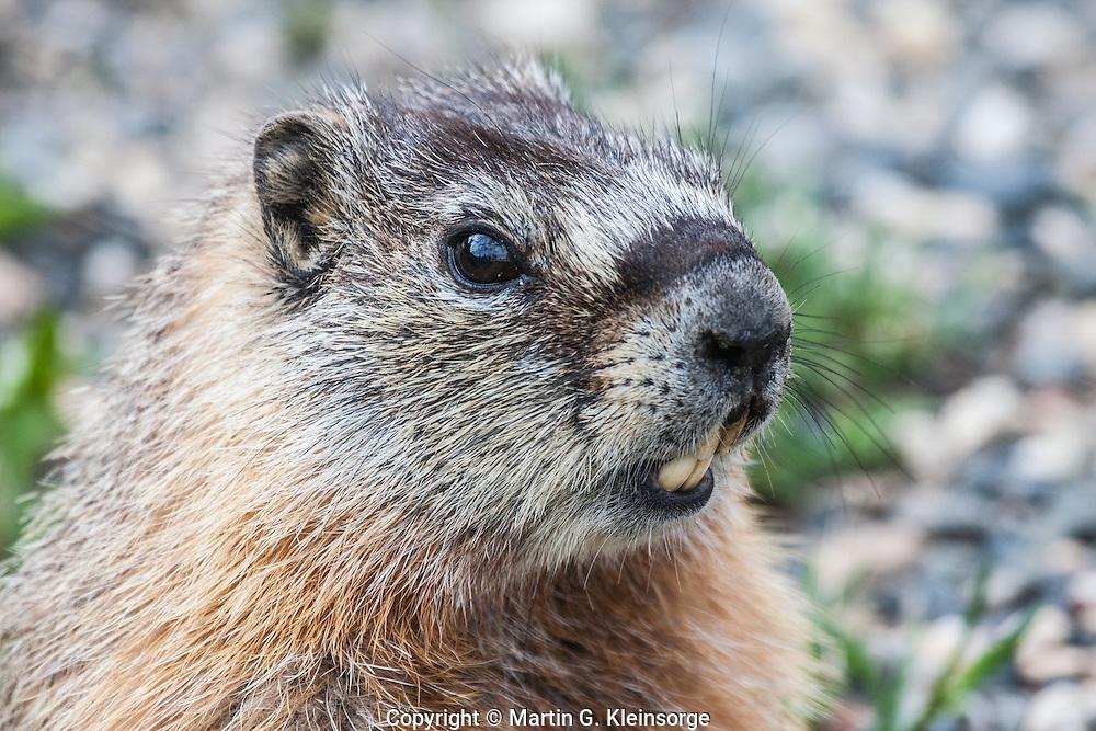 Yellow-bellied Marmot (Manota flaviventris) thrives on the alpine tundra.  Snowy Range Mountains, Wyoming,