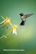 01162-05213 Ruby-throated Hummingbird (Archilochus colubris) male on Yellow Columbine (Aquilegia chrysantha) Shelby Co.  IL
