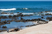 Hawaiian monk seals, Monachus schauinslandi, Critically Endangered endemic species;  a 5 year old male (RO36), on far left, scuffles with a female (R318), on its right, while a 20+-year-old male (R306) guards a 4-year-old female (RB16) at far right, at beach on west end of Molokai, Hawaii ( Central Pacific Ocean ))