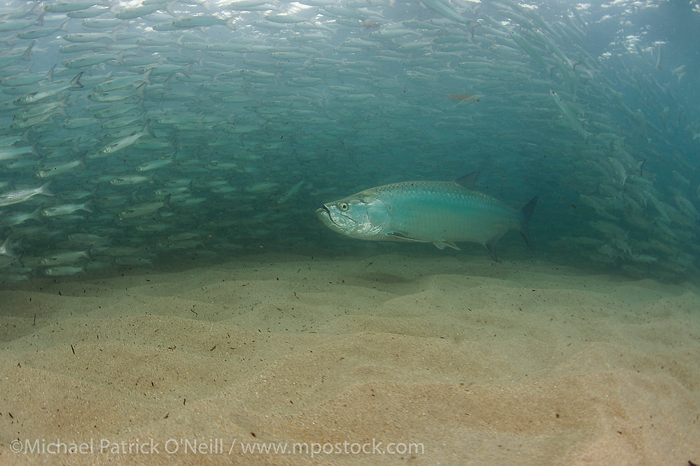 Tarpon, Megalops atlanticus, hunt mullet along the beach in Singer Island, Florida, United States, during the mullet migration in early fall.