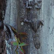 Leaf-tailed Gecko (Uroplatus fimbriatus), camouflaged against tree, Madagascar.