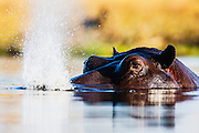 A hippopotamus (Hippopotamus amphibious) exhales water from its nose as it surfaces in the water , Khwai River, Botswana