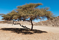 Resting under an acacia tree in the Eastern Desert.