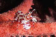 harlequin shrimp, Hymenocera picta, perched on sea star on which it feeds, south shore, Kauai, Hawaii, Hawaiian Islands, USA ( Central Pacific Ocean )