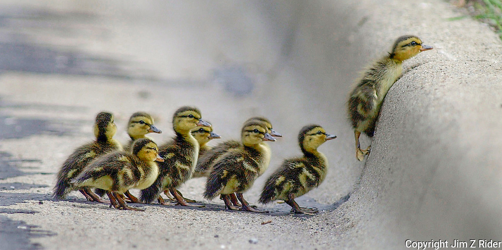 A family of mallard ducklings make their way up a curb after crossing a busy four lane road.  Mother duck was waiting in the grass just beyond the curb.