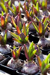 Hyacinth bulbs in bud at Floratuin Julianadorp