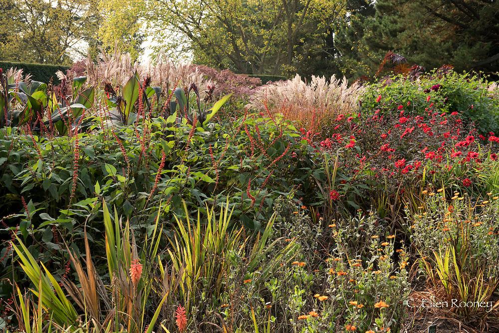 A 'hot' autumn border of dahlias and grasses in the Savill Garden, Surrey, UK
