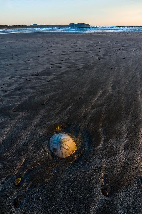 Sand dollar, afternoon light, May, Pacific Ocean beach, Olympic Peninsula, Washington, USA