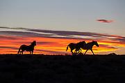 Wild mustangs at sunset in Wyoming
