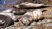 Northern Elephant Seals (Mirounga angustirostris) at Piedras Blancas, San Simeon, California USA