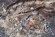 carcass of Laysan albatross, Phoebastria immutabilis, showing plastic in digestive tract that probably killed it, Sand Island, Midway Atoll, Midway National Wildlife Refuge, Papahanaumokuakea Marine National Monument, Northwest Hawaiian Islands, USA ( North Pacific Ocean )