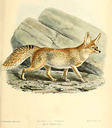 "Rüppell's fox (Vulpes rueppellii) [Here as Ruppell's Fennec (Canis famelicus)], also called Rüppell's sand fox, is a fox species living in desert and semi-desert regions of North Africa, the Middle East, and southwestern Asia. From the Book Dogs, Jackals, Wolves and Foxes A Monograph of The Canidae [from Latin, canis, ""dog"") is a biological family of dog-like carnivorans. A member of this family is called a canid] By George Mivart, F.R.S. with woodcuts and 45 coloured plates drawn from nature by J. G. Keulemans and Hand-Coloured. Published by R. H. Porter, London, 1890"