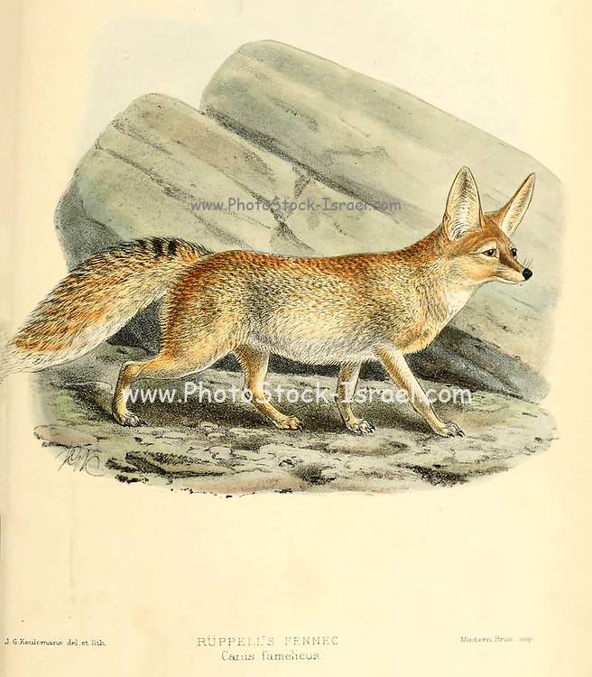 """Rüppell's fox (Vulpes rueppellii) [Here as Ruppell's Fennec (Canis famelicus)], also called Rüppell's sand fox, is a fox species living in desert and semi-desert regions of North Africa, the Middle East, and southwestern Asia. From the Book Dogs, Jackals, Wolves and Foxes A Monograph of The Canidae [from Latin, canis, """"dog"""") is a biological family of dog-like carnivorans. A member of this family is called a canid] By George Mivart, F.R.S. with woodcuts and 45 coloured plates drawn from nature by J. G. Keulemans and Hand-Coloured. Published by R. H. Porter, London, 1890"""