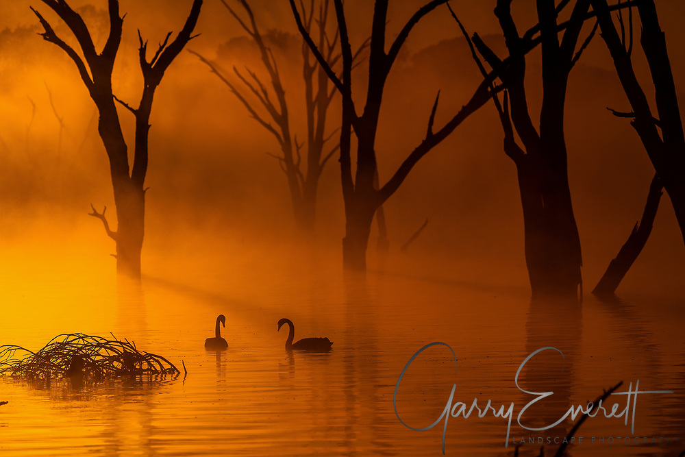 Two Black Swan in morning sunlight on Lake Mulwala (NSW side)