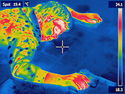 Thermogram of a staged crime scene.  By measuring the temperature of the body, a time of death can be estimated.  The different colors represent different temperatures on the object. The lightest colors are the hottest temperatures, while the darker colors represent a cooler temperature.  Thermography uses special cameras that can detect light in the far-infrared range of the electromagnetic spectrum (900?14,000 nanometers or 0.9?14 µm) and creates an  image of the objects temperature..