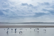 Flock of seagulls on sandy beach at Woolacombe, North Devon, UK