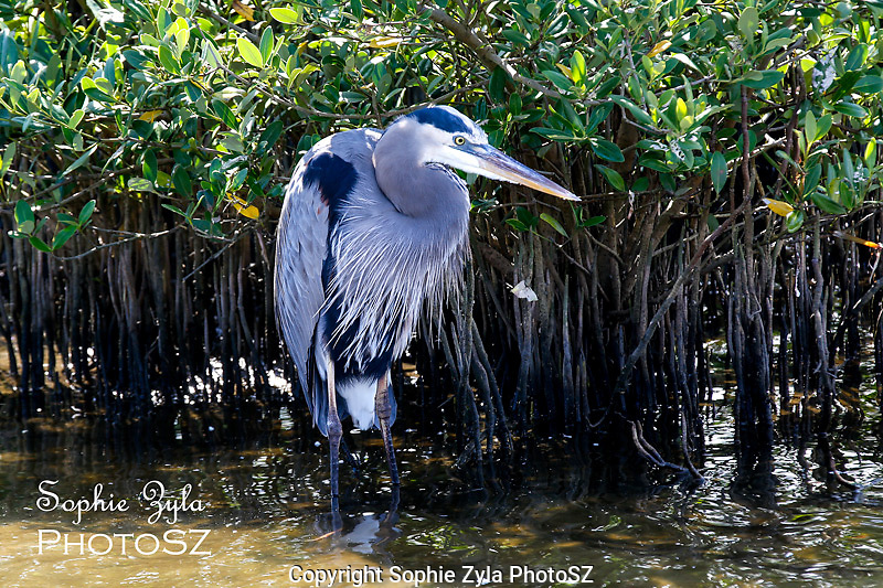 Great Blue Heron going for a catch