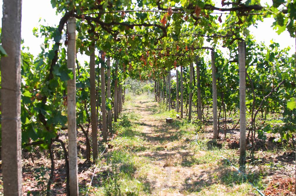 Vineyard trained in pergola style. Local grape variety Shesh. Cobo winery, Poshnje, Berat. Albania, Balkan, Europe.