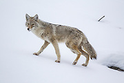 Coyote during winter in Yellowstone National Park