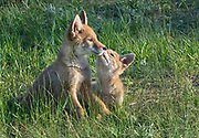 Two coyote pups share affection in Rocky Mountain National Park, Colorado.